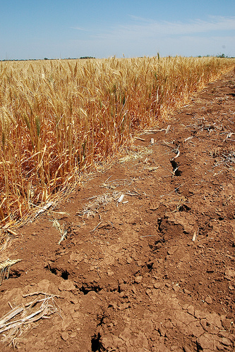 Texas Drought Losses to Agriculture Approach $1.5 Billion